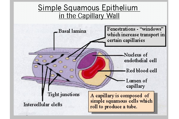 Simple Squamous Capillary